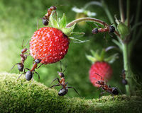 Team of ants picking wild strawberry, teamwork