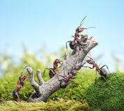 Team of ants and weathered tree, teamwork concept. Team of ants breaking down weathered tree, teamwork concept Royalty Free Stock Photos