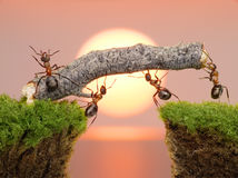 Team of ants work constructing bridge, teamwork. Team of ants constructing bridge over water on sunrise or sunset, work with log stock photos