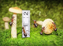 Team of ants work with harvest, teamwork Royalty Free Stock Image