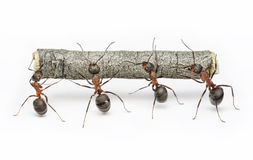 Team of ants work with log, teamwork. Team of ants carries log, work in cooperation,  teamwork Royalty Free Stock Photo