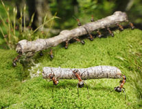 Team of ants work with logs, teamwork royalty free stock image
