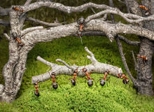 Team of ants work in rusty forest, teamwork Royalty Free Stock Photos
