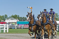 Team of Belgian Draft Horses at Country Fair Royalty Free Stock Photo