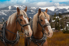 Team of Belgian draft horses in harness ready to be hitched to a wagon. In Colorado Stock Photography
