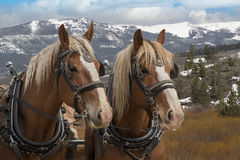 Team of Belgium horses in Colorado Royalty Free Stock Image