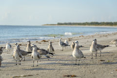 Team of birds flocking beach on west florida coast. Birds flocking beach on west florida coast Royalty Free Stock Photo