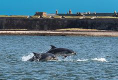 Team Of Bottlenose Dolphin Jumping en el fuerte George Near Inverness In Scotland de Moray Firth In Front Of fotografía de archivo