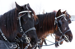 Team of Canadian horses Stock Image