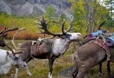 Team of deer Stock Image