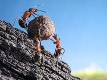 Team der Ameisen rollt Stein aufwärts, Teamwork Stockfotos