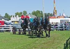 Team der Percheron Entwurfs-Pferde, die einen Lastwagen ziehen Stockbild