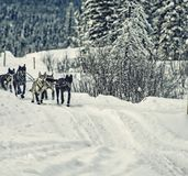Team of Dogs in a Dog Sledding Race - Alaska stock photography