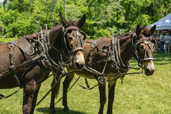 Team of Draft Mules in Harness Royalty Free Stock Image