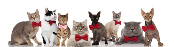Team of eight cute cats wearing bowties on white background stock images