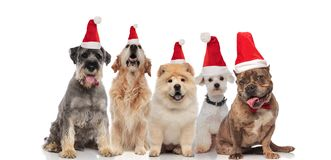 Team of five adorable dogs wearing santa costumes and bowtie stock photos