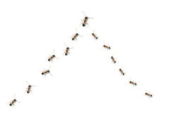 Team. The team of a group of ants Stock Photography