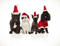 Team of happy santa cats and dogs panting and sitting. On white background royalty free stock photos