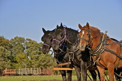 Team of harnessed horses Royalty Free Stock Image