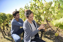 Team of harvesters picking up grapes Stock Photography