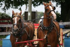 Team of Horse - You want me to do what?. A team of horses at a driving competition. The one horse is calm and waiting for his turn. The horse on the right Royalty Free Stock Images