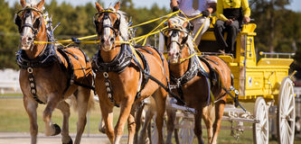 Team of horses. Team of horse trotting at a fair grounds Royalty Free Stock Photography