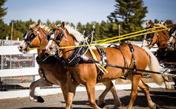Team of horses Royalty Free Stock Photography