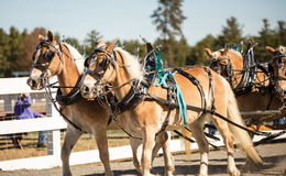 Team of horses. With there harness on Royalty Free Stock Images