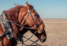 Team of horses. Team of two horses in the steppe. Horse head close-up in a harness Stock Photography