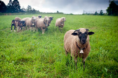 Team leader. Sheep herd leader in front of sheep group Royalty Free Stock Photography