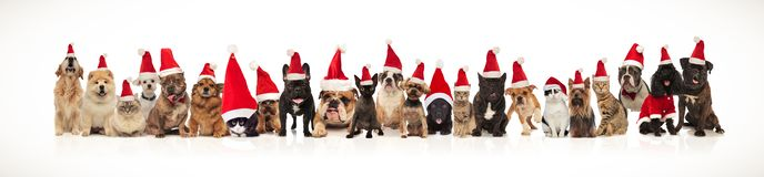 Team of many christmas cats and dogs wearing santa caps. Standing and sitting on white background royalty free stock image