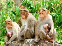 Team Monkey - Different Facial Expressions - Group Of Rhesus Macaque - Macaca Mulatta Stock Image