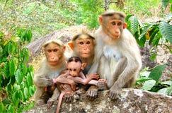 Team Monkey - espressioni facciali differenti - gruppo di macaco del reso - Macaca Mulatta immagine stock