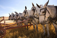 Team of mules. Royalty Free Stock Photography