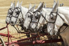 Team of mules working together. A team of work mules harnessed up and pushing machinery in Colfax, Washington royalty free stock photo