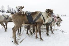 Team of northern deer Stock Image