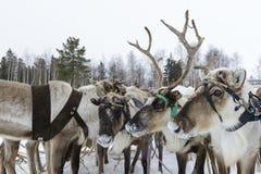 Team of northern deer Royalty Free Stock Image