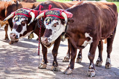 Farm Oxen Stock Photography