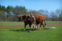 Team of Oxen Working Royalty Free Stock Images