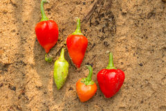 Team of peppers Royalty Free Stock Photo