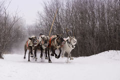 Team of rein-deers skims over the snow path. Royalty Free Stock Images