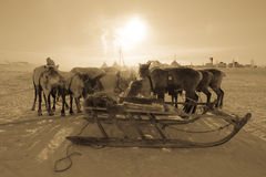 Team of reindeer on the background of yurts. Yamal Stock Images