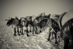 Team of reindeer in frosty winter morning. Yamal. Toned Royalty Free Stock Images