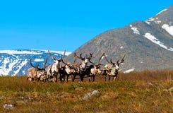 Team reindeer Royalty Free Stock Images