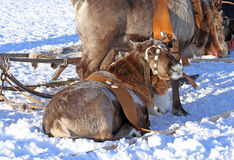 Team of reindeers Royalty Free Stock Photos