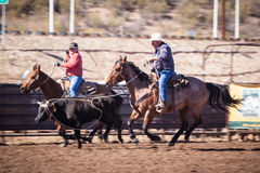 Team Roping Competition. Wickenburg, USA - February 5, 2013: Riders compete in a team roping competition in Wickenburg, Arizona, USA Stock Images