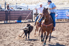 Team Roping Competition. Wickenburg, USA - February 5, 2013: Riders compete in a team roping competition in Wickenburg, Arizona, USA Royalty Free Stock Image
