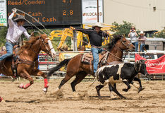 Team Roping. A couple of cowboys team up  during calf roping event in a  rodeo. The rodeo in Cottonwood, California is a popular event on Mother's Day weekend in Stock Photography