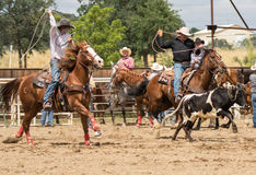 Team Roping. A couple of cowboys team up  during calf roping event in a  rodeo. The rodeo in Cottonwood, California is a popular event on Mother's Day weekend in Royalty Free Stock Photo