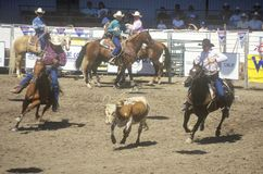 Team roping event, Old Spanish Days, Fiesta Rodeo and Stock Horse Show, Earl Warren Showgrounds, Santa Barbara, CA Stock Photos